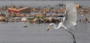 KUNTUL BESAR – Great Egret (Egretta alba)_Gugum Prayoga_Sungai Muara Angke_Kategori 1