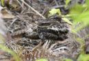 Mengejar Burung Endemik Sulawesi di Taman Nasional Lore Lindu